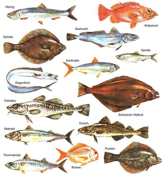 Hochseefischerstammtisch hochseefischer dresden rostock for Teichfische arten
